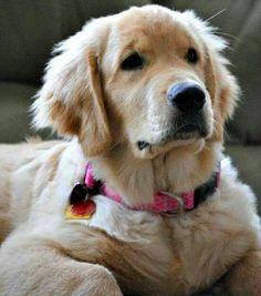 Chien Golden Retriever, Golden Retrievers, Pets, Animals, Dog, Friends, Medium Cut, Scenery, Dog Cat