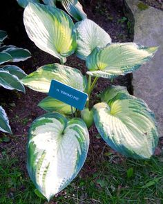 Hosta Eskimo Pie...Harshbarger Hosta Society