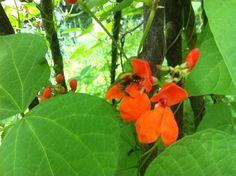 ape sugge il nettare da fiore di fagiolo coccineus