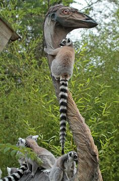 Ring-tailed Lemur (Lemur catta) family