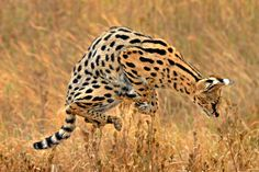 """Serval is produced in a medium-sized African cat, serval cat is the only member of the genus. Serval is a unique shape, known as the """"wolf like a deer. Cat Enclosure, Reptile Enclosure, Big Cat Species, African Cats, Serval Cats, Munchkin Cat, French Bulldog Puppies, Reptile Cage, Exotic Fish"""