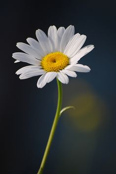 Single daisy on dark blue background - Blumen Happy Flowers, Wild Flowers, Beautiful Flowers, Flora Flowers, Simply Beautiful, Daisy Wallpaper, Daisy Love, Blue Daisy, Blossom Garden