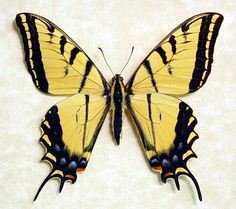 Papilio multicaudata  - Giant Two-tailed Swallow-tail; From Arizona, USA