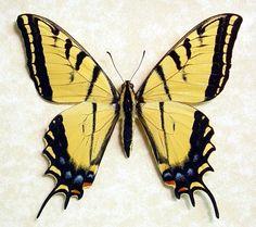 Papilio multicaudata  - Giant Two-tailed Swallow-tail; From Arizona, USA