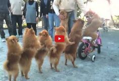 This Incredulous Video of Dogs in a Conga Line Will Have You in Awe! Absolutely Incredible!! (VIDEO) | EntirelyPets Blog