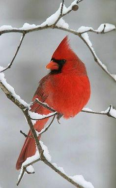 Cardinal on a snowy branch ~ beautiful!