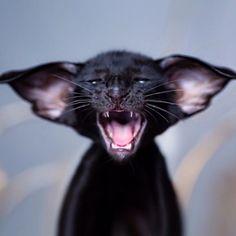 Cats – The Purrfect Companion? Pretty Cats, Beautiful Cats, Animals Beautiful, I Love Cats, Crazy Cats, Cool Cats, Animals And Pets, Baby Animals, Cute Animals