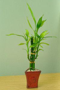 Si aún no te has unido a la ola de jardineros y aficionados a la jardinería que adquirieron un bambú de la suerte, conoce más sobre este y sus cuidados.