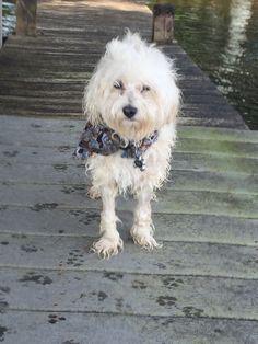 Teddy Swimming at the Lake