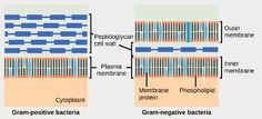 Cell Walls of Prokaryotes