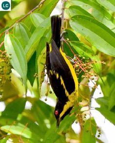 Chim Dacnis bụng vàng lưu vực sông Amazon Nam Mỹ | Yellow-bellied dacnis (Dacnis flaviventer)(Thraupidae)(Dacnis) IUCN Red List of Threatened Species 3.1 : Least Concern (LC) | (Loài ít quan tâm) https://www.facebook.com/pages/THI%C3%8AN-NHI%C3%8AN-K%E1%BB%B2-TH%C3%9A/171150349611448?ref=hl