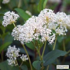 New Jersey Tea plant (Ceonothus americanus) has luxuriant glossy leaves and bright white flowers make this  durable shrub a real winner. Attracts hummingbirds.