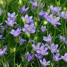 Nigella 'Blue Stars' (Nigella bucharica)