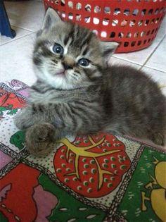 Atlas the kitten