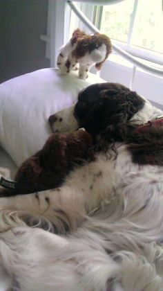 My name is Dolly and yes I'm a spoiled Springer!