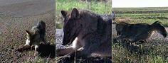 Graxaim é encontrado congelado em Getúlio Vargas, no Norte do RS  Animal de médio porte foi achado em pé à beira de uma estrada.  Veterinário diz que é pouco provável que animal tenha morrido de frio.