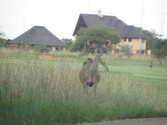 Kudu, Zebula, South Africa. Golf Estate, Life Is Tough, Wild Life, South Africa, Spa, Animals, Animales, Animaux, Animal Memes