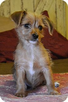 Hagerstown, MD - Cairn Terrier/Wirehaired Fox Terrier Mix. Meet Hawk, a puppy for adoption. http://www.adoptapet.com/pet/14969447-hagerstown-maryland-cairn-terrier-mix