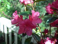Pink Rhode