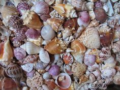 Today's Featured Writer: Laura Hoot from HomeAway! Top 10 Florida Beaches for Seashells Look no further than Florida for some of the best seashell collecting in the country. Throughout the Su… Florida Vacation, Florida Travel, Florida Beaches, Vacation Trips, Dream Vacations, Vacation Spots, Vacation Ideas, Florida Trips, Beach Vacations