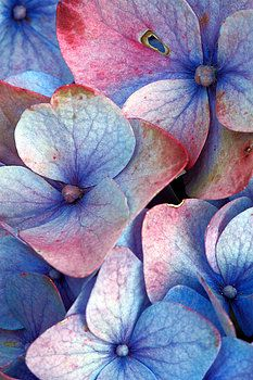 hydrangea garden care Ageing hydrangea Photograph by Gaspar Avila - Ageing hydrangea Fine Art Prints and Posters for Sale Hortensia Hydrangea, Hydrangea Garden, Hydrangea Flower, Blue Flowers, Hydrangeas, Art Floral, Watercolor Flowers, Watercolor Paintings, Watercolors