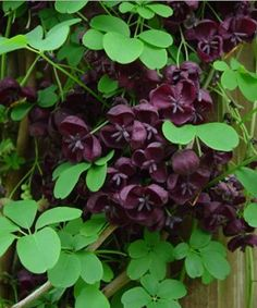 Akebia quinata (Chocolate Vine) is a semi-evergreen climber with bright green leaves it can make a height of 8-12m with a spread of 8m at maturity so it needs plenty of space.  The flowers smell of chocolate hence its name.  It is of full sun and is also shade-tolerant so you can plant it pretty much everywhere nor is it fussy about soil type as long as it's moist and well-drained.