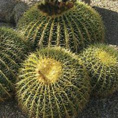 unusual phoenix home and garden. Plants That Glow in the Sunlight  Phoenix Home Garden Golden Barrel Echinocactus grusonii Unusual Cacti and Succulents Front yard