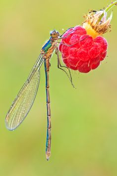An emerald damselfly picking raspberries.