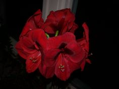Amazing Amaryllis 2013 winter