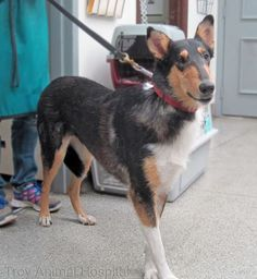 Photo: Smooth Collies, that great Collie personality, without worrying about all the fur. This is Dior.