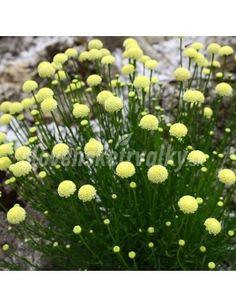 Santolina rosmarinifolia - eshop