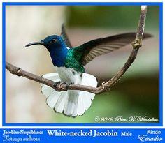 white-necked jacobin hummingbird my favorite hummingbird