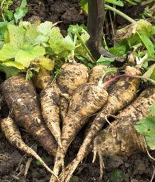 Four reasons for growing parsnips: easy to grow, tasty, best picked after a frost and even as late as early spring, and the lush foliage keeps out the weeds.