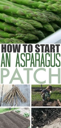 Asparagus is a great addition to any backyard garden. Once you get it established it will continue to provide for you every spring with very little effort required to keep it happy and healthy. Read on for more details on how you can plant asparagus in your garden! #GrowAsparagus #Gardening #GrowYourOwn #VeggieGarden