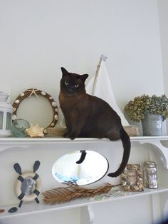 cheeky bella our chocolate burmese cat loves to climb