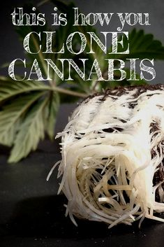 How to clone cannabis: a step-by-step guide for happy and healthy clones in your grow.