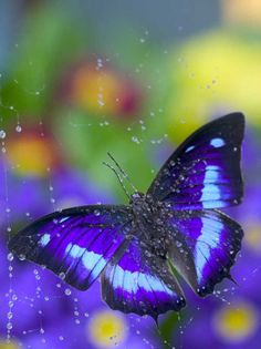 ~~Prepona Butterfly Caught in Dew by Darrell Gulin~~