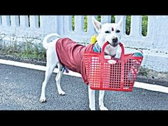 Cute Dogs Help Owner Bring In Groceries -  Funny Dog Videos 2016
