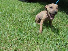 POOR BABY ON KILL LIST - SUSIE (A1646379) I am a female brown Pit Bull Terrier mix.  The shelter staff think I am about 13 weeks old and I weigh 10 pounds.  I was found as a stray and I may be available for adoption on 09/22/2014 — hier: Miami Dade County Animal Services. https://www.facebook.com/urgentdogsofmiami/photos/pb.191859757515102.-2207520000.1411342805./843186929049045/?type=3&theater
