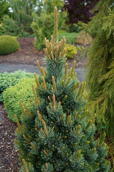 Pinus aristata 'Joe's Bess'