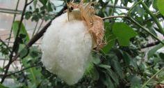 Има ли лечебни свойства памукът? http://www.zdravnitza.com/a/nav/news/s/s/news_id/7578