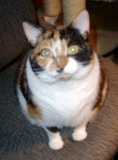 Calico • Adult • Female • Large  Cool Cats Gahanna, OH  Callie is a lovable, cuddly kitty who wants to be by you and sleep at your feet.  Callie is  big-boned girl who gets along with everybody.