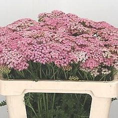 Achillea Pink Lady is a beautiful Pink seasonal cut flower -delicate and pretty flower perfect for infilling and bulking out arrangements. Can be dried May Flowers, Bridal Flowers, Amazing Flowers, Pretty Flowers, Flower Food, Flower Ideas, Butterfly Weed, Indian Paintbrush, Achillea