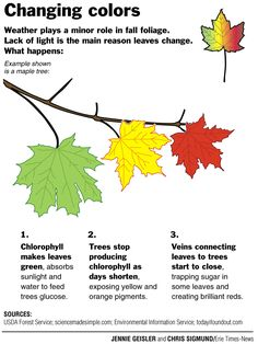 """""""Have your students ever asked why leaves change color? Here's a short-and-sweet version from the USDA Forest Service. Plant Science, Science Fair, Science Lessons, Science For Kids, Science Projects, Primary Science, Life Science, Science And Nature, Fall Preschool Activities"""