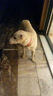 Ο σκυλάκος της φωτογραφίας είναι όλη μέρα επί της οδού Ζησιμοπούλου στο κέντρο της Γλυφάδας. Μήπως τον αναζητά κάποιος?