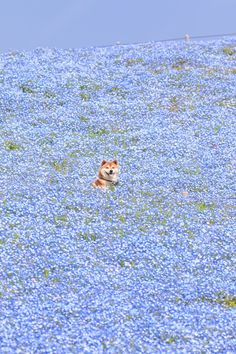 Shiba Inu Dog Frolicking in Sea of Flowers is the Goodest Boy in Japan – grape Japan flowers japan Animals And Pets, Baby Animals, Funny Animals, Cute Animals, Nature Animals, Wild Animals, Shiba Inu, Shiba Puppy, Cute Puppies