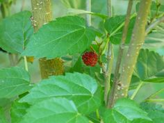 Mulberry trees enjoyed popularity in years past as ornamental shade trees as well as for their copious edible fruit. Interested in learning about how to grow mulberry trees? This article will help get you started with mulberry tree care.