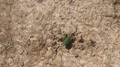 Скакун полевой (лат. Cicindela campestris) — вид жуков из подсемейства скакунов (Cicindelinae) семейства жужелиц.  Жуки размером около 15мм зеленого цвета с желтыми отметинами. Этот вид развивает скорость до 0,62 м/сек или 2.25 км/ч. Скакуны - рекордсмены среди наземных животных по соотношению размера тела и скорости. Любят высушенную голую землю. Взрослые особи и личинки - хищники. Обладают хорошим зрением. Пищеварение внекишечное.