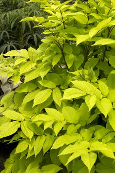 Sun King Spikenard - Bright gold leaves that linger through summer. Perfect for a sheltered spot near a water garden or dipping pool. Great in shaded entryways or patio; perfect for containers or as a houseplant. Flowers are followed by black ornamental berries. Evergreen.