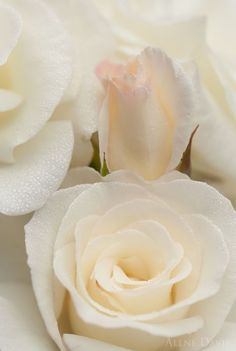 Captivating Why Rose Gardening Is So Addictive Ideas. Stupefying Why Rose Gardening Is So Addictive Ideas. Love Rose, My Flower, Pretty Flowers, Unique Flowers, White Roses, White Flowers, Red Roses, Ivory Roses, Colorful Roses